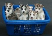 Сибирский хаски щенки для хороших домах