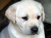 щенок лабрадор-ретривер палевый окрас