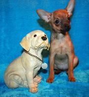 Продается щенок тойтерьера, мальчик рыжего окраса